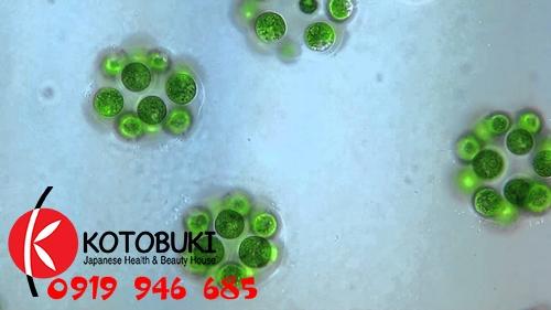 Tảo lục Chlorella là một chi của tảo lục đơn bàoTảo lục Chlorella là một chi của tảo lục đơn bào